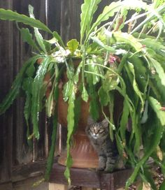 Wolfgang under Stacy's epiphyllum.