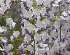 Wisteria floribunda 'Multijuga' - Plants - gardenersworld.com