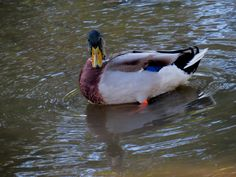 Lick Creek has it's share of ducks and geese with various birds but this morning the Drake just gave us a curios look and then we all went our ways. Beech Grove, Canon Powershot, Swans, Ducks, Indiana, Lab, Wildlife, Birds, Yellow