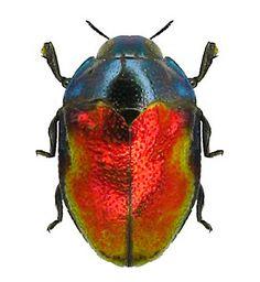 Leiopleura sp