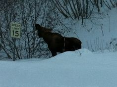 Moose a block from my house, Anchorage, Alaska