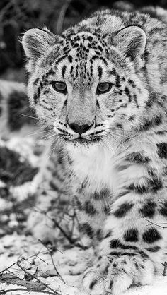 snow_leopard_snow_hunting_attention_black_and_white_57947_… | Flickr