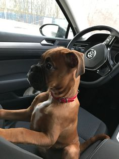 Two of my favorites—Boxers and Volkswagens. - Tap the pin for the most adorable pawtastic fur baby apparel! You'll love the dog clothes and cat clothes!