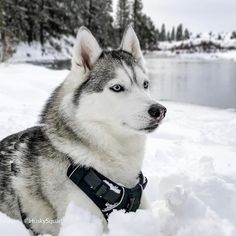 """We often notice our pack """"taking in the view"""" during hikes and adventures. A sense of serenity grabs ahold of them and like Yuna here you can see she is enjoying the view  We hope to inspire you to take your pups out to nature it's one of the best ways to build your bond  #huskysquad #Yuna"""