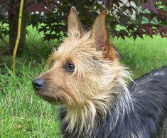 australian+cairn+terrier   Add photos Cute Australian Terrier Max in your blog: