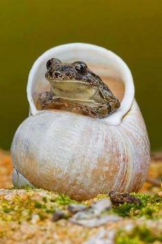Moon snail shells make cozy resting places.