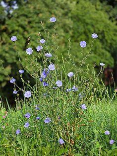 """""""Die Gemeine oder Gewöhnliche Wegwarte (Cichorium intybus), auch Zichorie genannt, ist eine Pflanzenart aus der Familie der Korbblütler (Asteraceae). Sie wächst in Mitteleuropa häufig an Wegrändern. Kulturformen sind Chicorée, Radicchio und die Wurzelzichorie."""""""