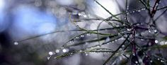 """""""Droplets on Hakea leaves & Bokeh"""" by Ron Brindley on Flickr"""