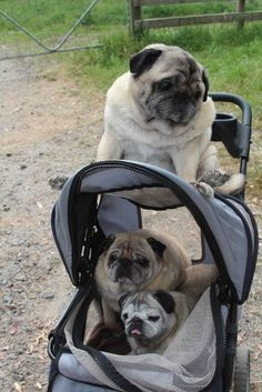 Beautiful senior pugs from Saffron on the Hill Inc (Facebook). Top to bottom: Arthur, Bob and April Anne