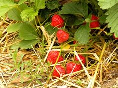 Want to buy organic strawberry plants? This list of organic strawberry plants for sale & varieties will yield organic strawberries! Strawberry Plants For Sale, Strawberry Beds, Strawberry Garden, Gardening For Dummies, Gardening Tips, Growing Strawberries In Containers, Grow Strawberries, Beautiful Fruits, Growing Tomatoes