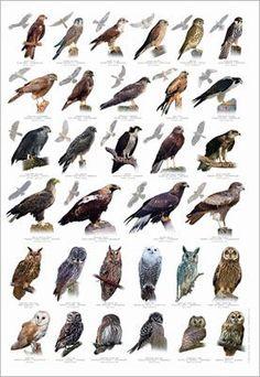 Birds of Prey Identification Poster