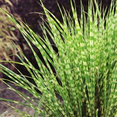 Dwarf Zebra Maiden Grass for Sale Online – Greener Earth Nursery
