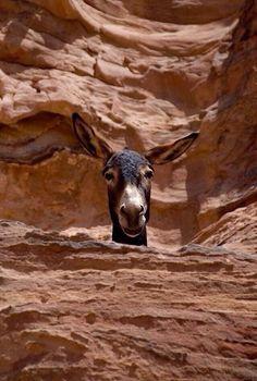 Whatcha doin' down there! Wondering if this one is a Grand Canyon pack burro. Farm Animals, Animals And Pets, Funny Animals, Cute Animals, Amor Animal, Mundo Animal, Beautiful Horses, Animals Beautiful, Beautiful Women
