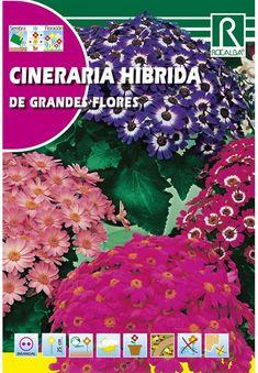 Évelő virágok : Cineraria - Csodaszem Flowers
