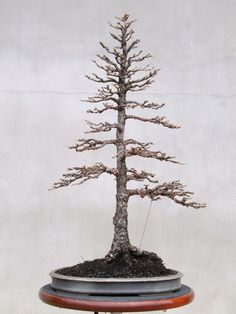 American Bonsai at the NC Arboretum - Page 2