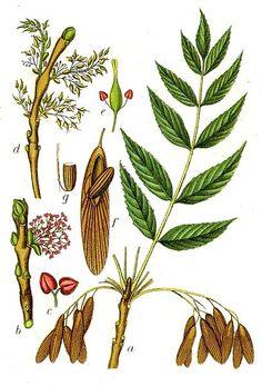 Common Ash - Fraxinus excelsior L.