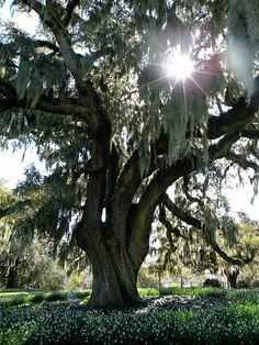 My dream is to get married under this tree and have the reception under a white tent in the field right next to it ~Airlie Gardens, Wilmington, NC