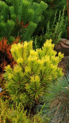 A conifer corner on one balcony.  Pinus mugo 'Carstens Winter Giold'.  Great winter color and interest.