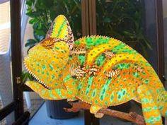 Baby High Orange Veiled Chameleon  ;) Veiled Chameleon, Chameleon Lizard, Karma Chameleon, Beautiful Creatures, Animals Beautiful, Cute Animals, Beautiful Things, Chameleons, Lizards