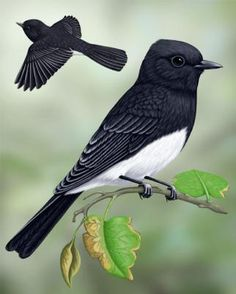 Black Phoebe - This is the bird that uses our pool as his birdbath at least twice a day.