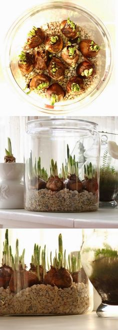 Forcing Paperwhites bulbs in water