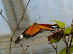 Red Lacewing Butterfly (dorsal view)