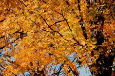 New print available on licensing.pixels.com! - 'Beautiful Autumn Trees 4' by Lanjee Chee - http://licensing.pixels.com/featured/beautiful-autumn-trees-4-lanjee-chee.html via @fineartamerica