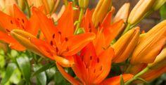 KW 20 langstielig: Pure Energy! 10 Lilien für ihre Bodenvase