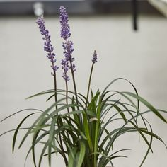 LIRIOPE MUSCARI { Liriope Muscari; Money plant; Turf lily } Liriope Muscari, Money Plant, Small Outdoor Spaces, Lily, Plants, Decor, Decoration, Lilies, Planters