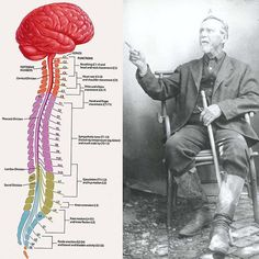 Dr. Still speaking on the importance of functional anatomy (Philosophy of Osteopathy): You must know its physiological laboratories and workings with the brain as the battery the lungs as the source or machine that renovates the blood from all impurities and the heart as the living engine or quarter-master whose duty is to supply the commissaries with blood and other fluids to all divisions and subdivisions of the human body which is busily engaged producing material suited to the…