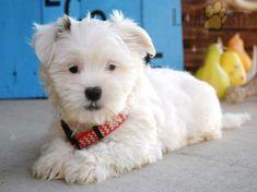 #Shorkie #Charming #PinterestPuppies #PuppiesOfPinterest #Puppy #Puppies #Pups #Pup #Funloving #Sweet #PuppyLove #Cute #Cuddly #Adorable #ForTheLoveOfADog #MansBestFriend #Animals #Dog #Pet #Pets #ChildrenFriendly #PuppyandChildren #ChildandPuppy #LancasterPuppies www.LancasterPuppies.com Animals Dog, Cute Animals, Shorkie Puppies For Sale, Lancaster Puppies, Adorable Puppies, Parrots, Mans Best Friend, Snuggles, Puppy Love