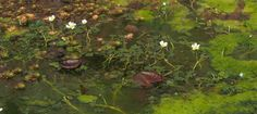 Trying to control blanket weed & algae in my pond - Pumpkin Beth