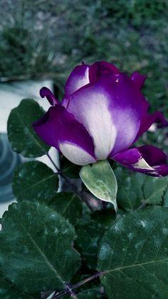 Beautiful Rose Flowers, Unusual Plants, Purple Roses, Floral Arrangements, Plant Leaves, Colors, Gift, Love Flowers, Pictures Of Flowers