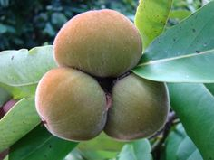 """Mabolo or Velvet apple (diospyros blancoi) is a rare fruit native to the Philippines. It is closely connected to the persimmon fruit family. The fruit is about the size of an apple with a mildly sweet flavoured, mealy flesh"""