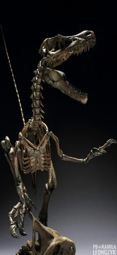 Master Fossil Velociraptor Skeleton