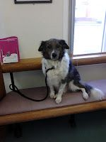 This is my boy Sym waiting patiently for the Vet to see him.