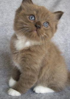 Fluffy Kittens, Ragdoll Kittens, Cute Cats And Kittens, Baby Cats, I Love Cats, Kittens Cutest, Baby Kitty, Sleepy Kitty, Bengal Cats
