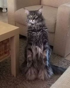 Awesome Maine Coon...