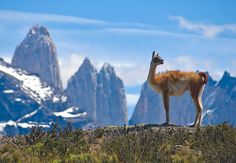 An amazing inspired by this photo of Guanaco (Lama Guanicoe) admiring the Andes in Torres del Paine National Park, Patagonia, Chile. Parc National Torres Del Paine, Argentina Facts, Peru, Chili, Audley Travel, World Travel Guide, Travel Tips, In Patagonia, Romantic Destinations