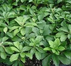 Pachysandra terminalis - A dense, lustrous evergreen, trailing vine-type ground cover, white flowers in spring.
