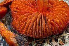 Cortinarius cinnabarinus_6 | by amadej2008