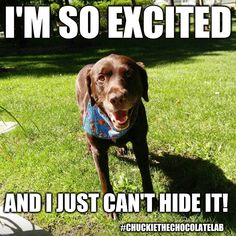 An image tagged chuckie the chocolate lab,excited,dogs,memes,cute Animal Pictures, Cute Pictures, Excited Dog, Chocolate Labs, Black Labs, Cute Love Quotes, Labradors, Dog Memes, Labrador Retriever