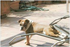 Sporty Pepa #englishbulldog #puppy #cute #pushups