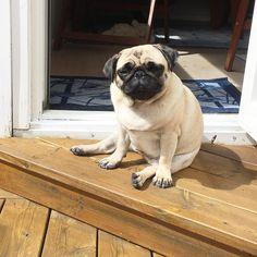 ☀️☀️SUNSHINE LOVER☀️☀️ The perfect activity when you are a tired little pug. #sunbathing #sunshinelover #pugsitting #atmysummerhouse #summer #fawnpug #midsommardagen #midsummerday #lifequality #livskvalitet #mopsen_elsa #elsa #princesselsa #mops #mopslover #mopsofinstagram #pug #puglover #puglife #pugsofinstagram #dog #doglover #dogsofinstagram #doglife #saturday http://misstagram.com/ipost/1544311356755440649/?code=BVufv8yAnQJ