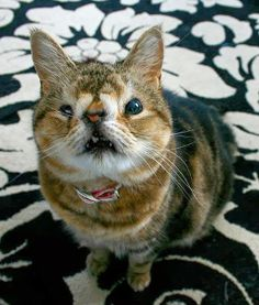 Picture of one of the ugliest cats in the world