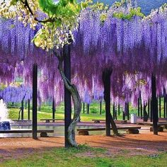 Flowering trees Wisteria Flowers Vine Silk Flower Wedding Garden Hanging Decor & Garden Ashikaga Flower Park by Noe Arai Wisteria Tunnel, Wisteria Tree, Purple Wisteria, Wisteria Pergola, Wisteria Trellis, Wisteria Japan, Chinese Wisteria, Wisteria Garden, Pergola Canopy