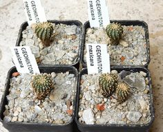 https://flic.kr/p/GcewFv | Geohintonia mexicana | 1,5 cm seedlings, four years old