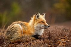 Red Fox by HE Atala on 500px
