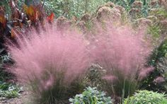 Regal Mist Muhly Grass Muhlenbergia Capillaris…Muhly Grass~ also known as Cotton Candy Grass…Withstands heat, humidity, poor soil and even drought. Very easy to grow, it reaches a mature height of feet tall and gets feet wide.S zones Outdoor Plants, Garden Plants, Outdoor Gardens, Fruit Garden, Balcony Garden, Garden Beds, Cactus Plants, House Plants, Amazing Gardens