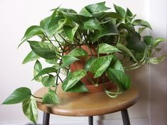 15 Best Houseplants For Beginners New to growing plants and no idea what you should grow indoors? Learn about these 15 Best Houseplants for Beginners. They all are easy to grow! Ivy Plants, Cool Plants, Garden Plants, Vine House Plants, Herb Garden, Potted Plants, Vegetable Garden, Garden Spaces, Balcony Garden